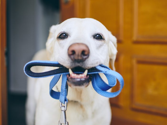 dog holding leash in mouth, hoping to go on a walk